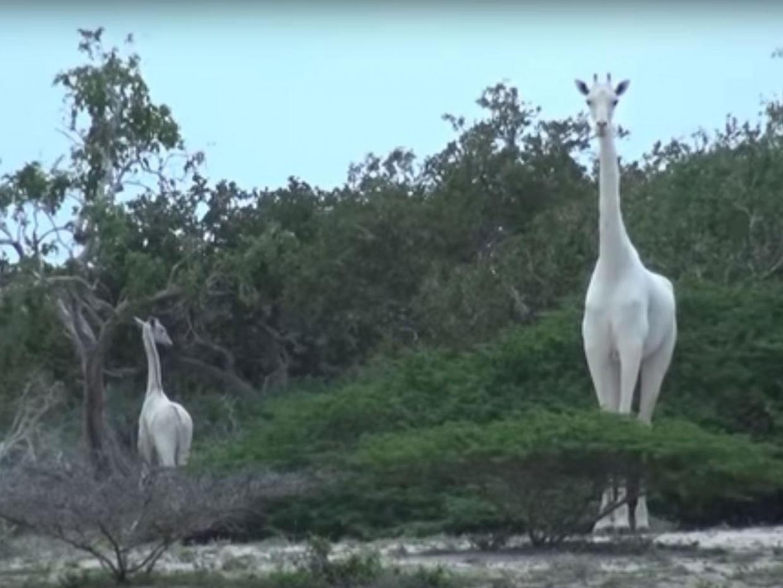 В Кении обнаружили абсолютно белых жирафов