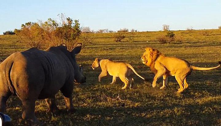 Носорог-хулиган помешал влюбленным львам