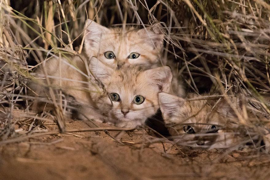 Ученые впервые сняли потомство барханного кота