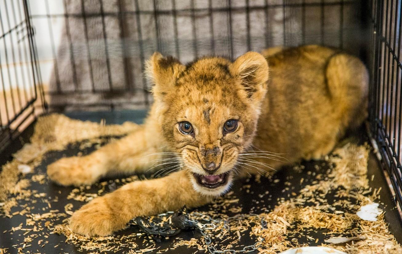 В Париже спасли одинокого голодного львенка, который был звездой соцсетей
