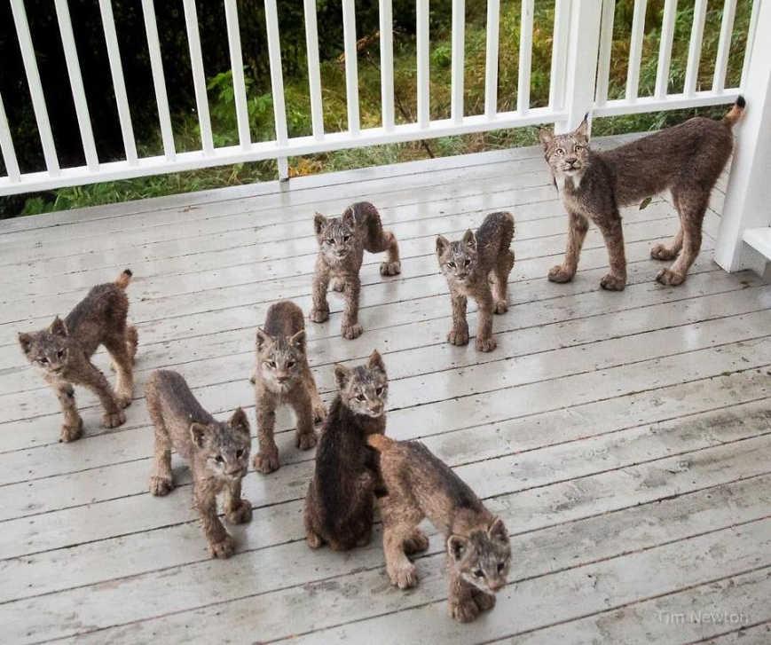 Незваные гости: рысь и семеро котят пришли в гости к фермеру на Аляске