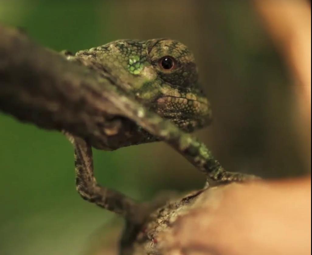 В британском зоопарке вылупились малыши хамелеончики