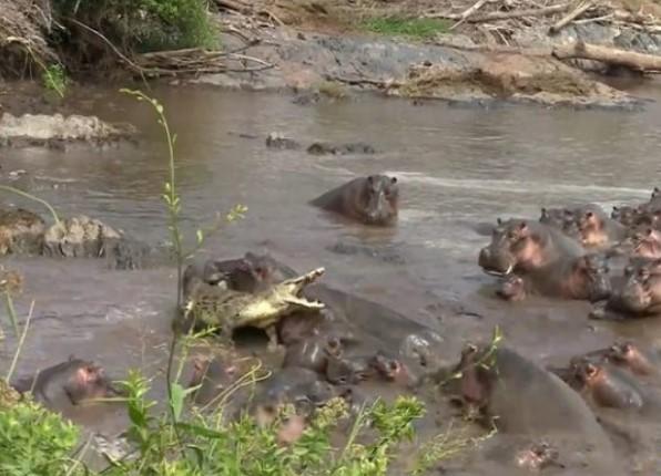В Танзании стадо бегемотов напало на одинокого крокодила