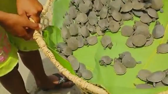 В Перу выпустили тысячи редких амазонских речных черепах