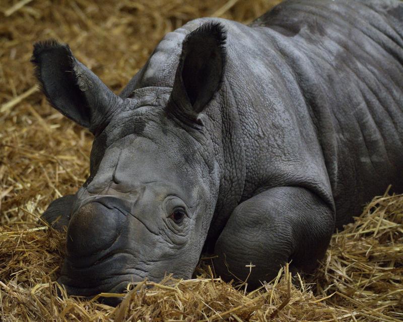 Почти как единорог: в Великобритании родился белый носорог