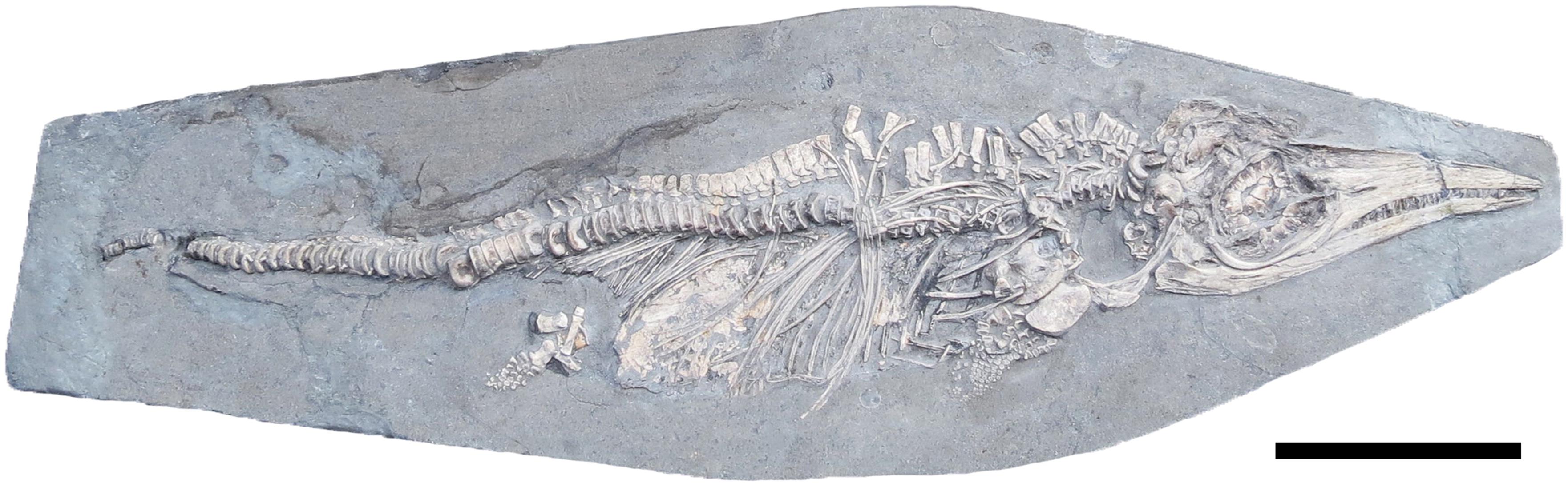 Ученые нашли ихтиозавра, который умер от булимии