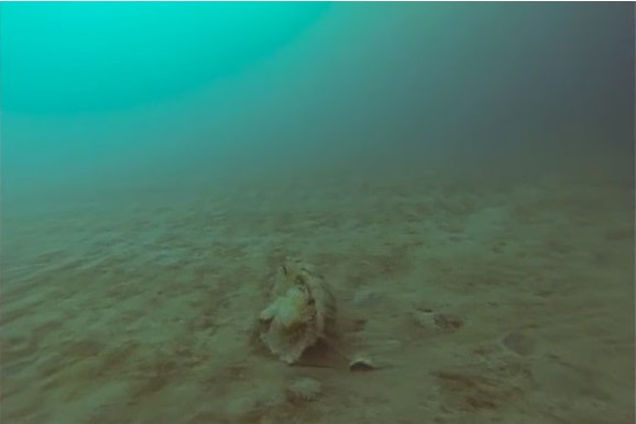 Редкую арктическую медузу сняли на видео