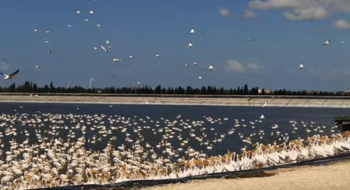 В Израиле сотни тысяч пеликанов устроили из обеда представление