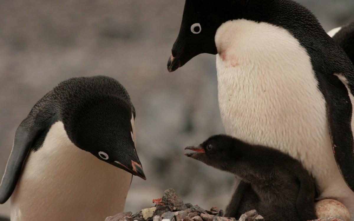 В Антарктике период размножения пингвинов обернулся катастрофой