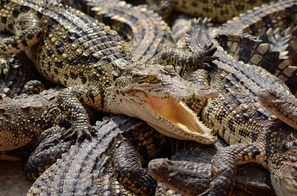 В Китае от фермера сбежали 78 крокодилов