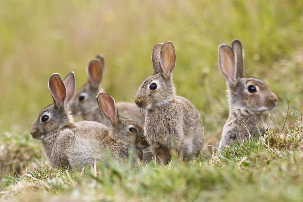 Спасут ли кролики Венесуэлу от голода?