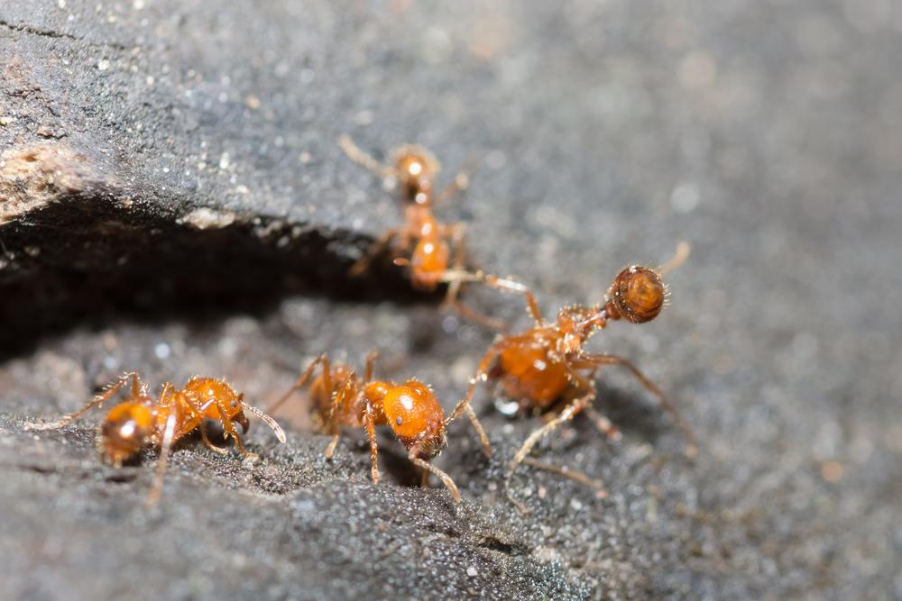 Смертельно опасные муравьи из Южной Америки распространяются по миру.Вокруг Света. Украина