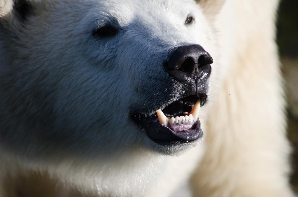 На Чукотке отменили дискотеки из-за нашествия медведей