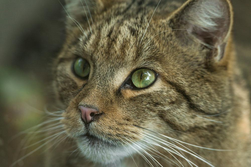 В Белоруссии впервые за 90 лет появился лесной кот