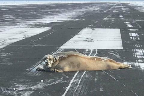В аэропорту Аляски на взлетной полосе нашли тюленя