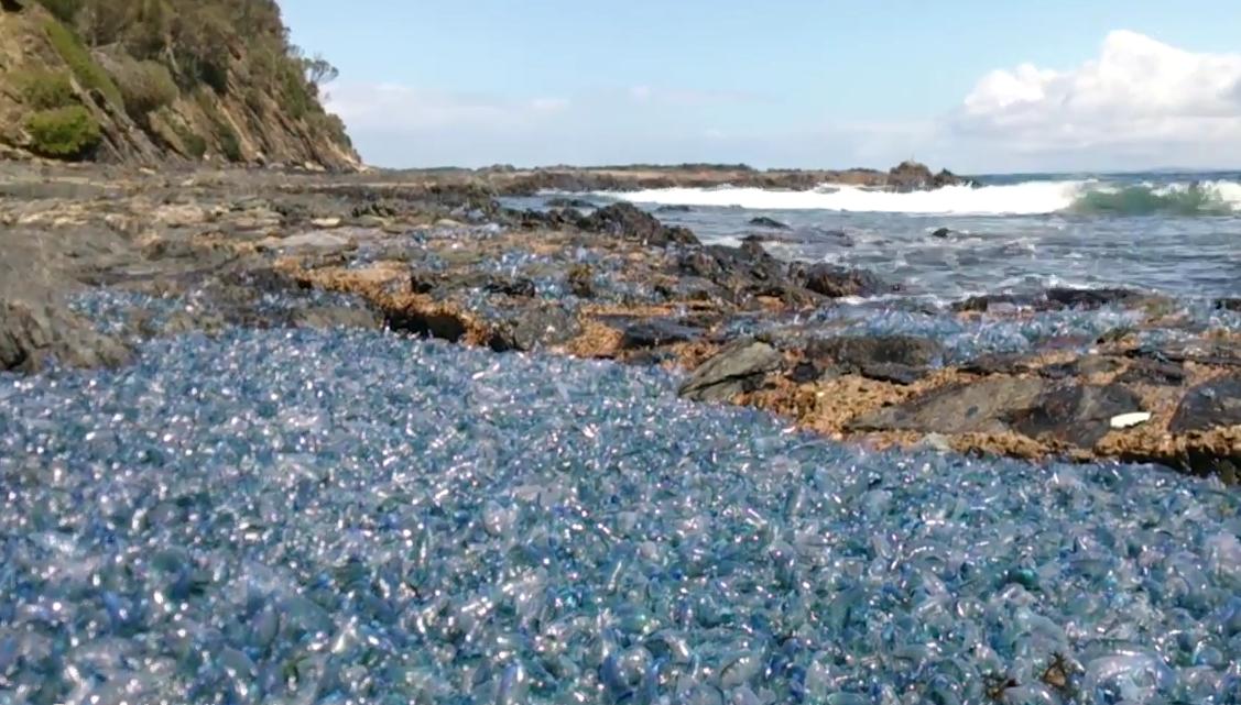 Ядовитые медузы превратили побережье Австралии в инопланетный пейзаж (видео)