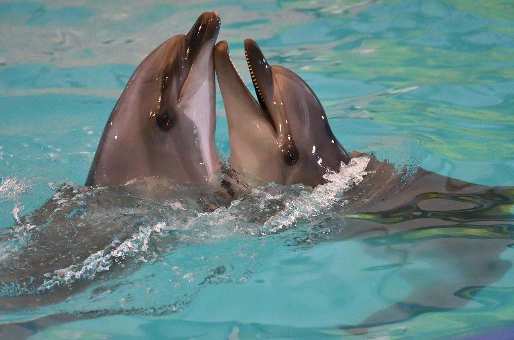 Дельфины задабривают самок подарками – ученые