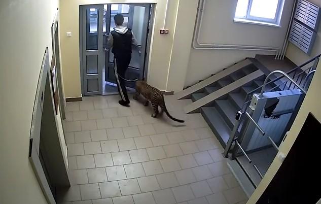 Житель Нижнего Новгорода гуляет по улицам с леопардом