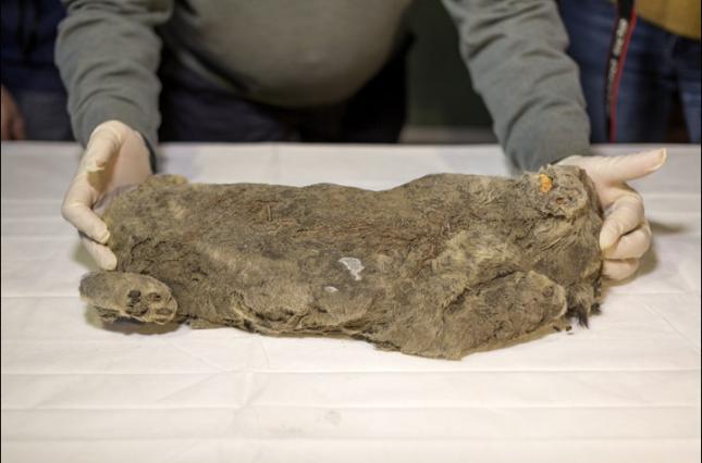 В вечной мерзлоте нашли пещерного львенка