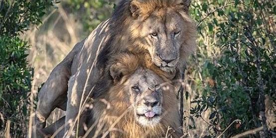 В Кении обвинили туристов в развращении львов