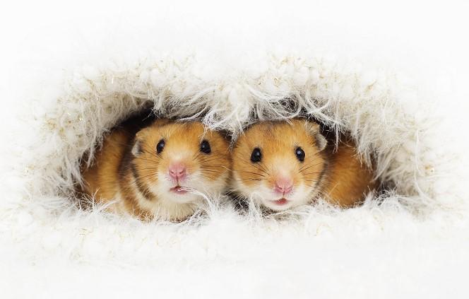 Пьяные мыши не любят трезвых самок