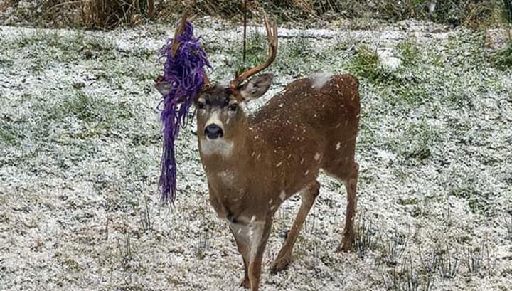 В Канаде ищут оленя. Особая примета - гамак на рогах