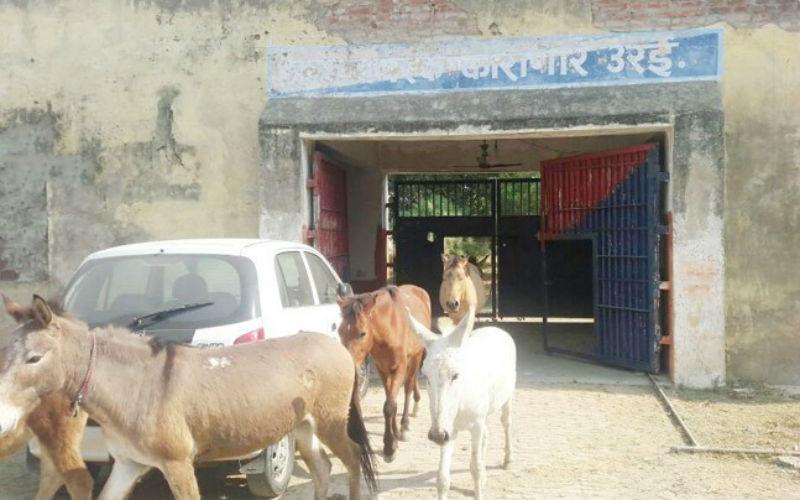 В Индии посадили в тюрьму осликов