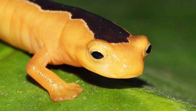 Биологи нашли считавшуюся вымершей саламандру.Вокруг Света. Украина