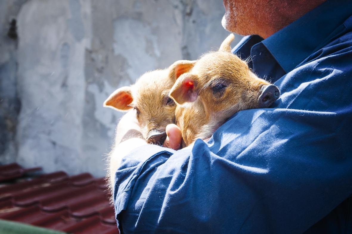 Авиалинии США протестуют против свиней на борту