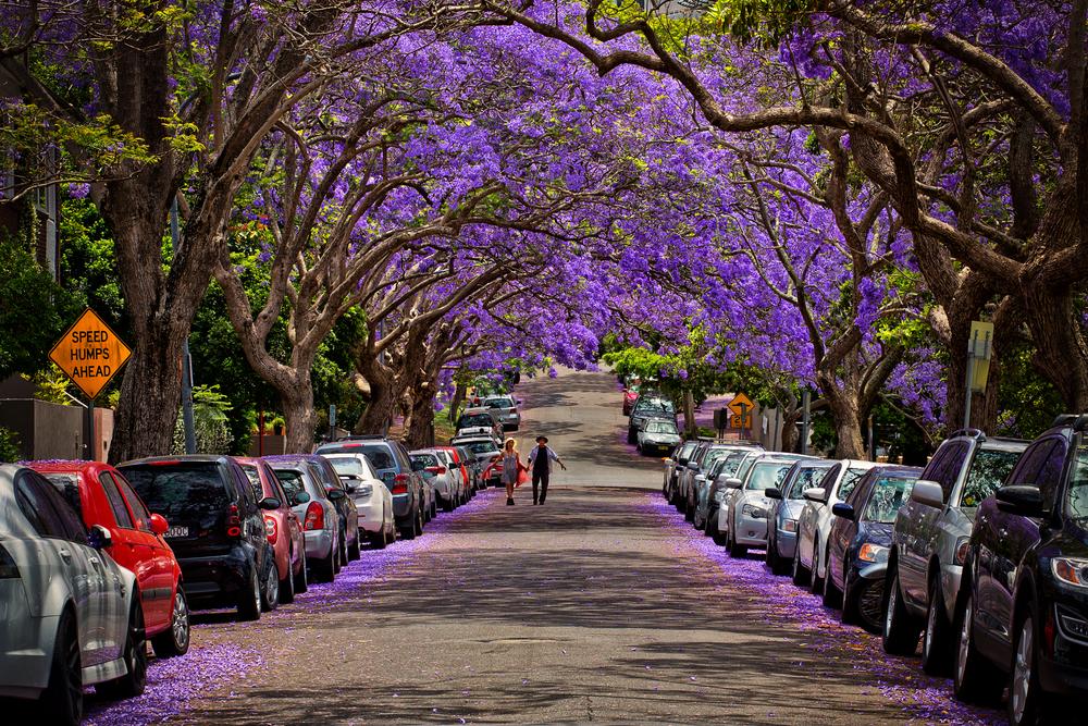 Селфи туристов с цветущей джакарандой вызвали пробки в Сиднее