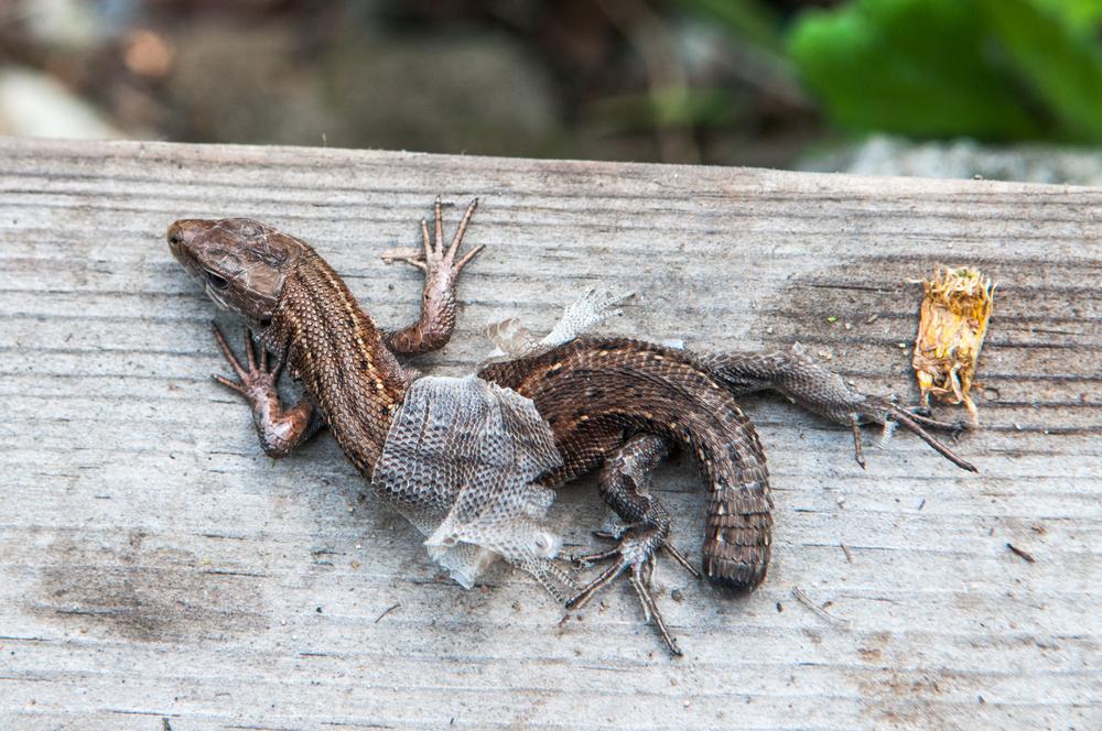 Почему у ящериц отрастает оторванный хвост
