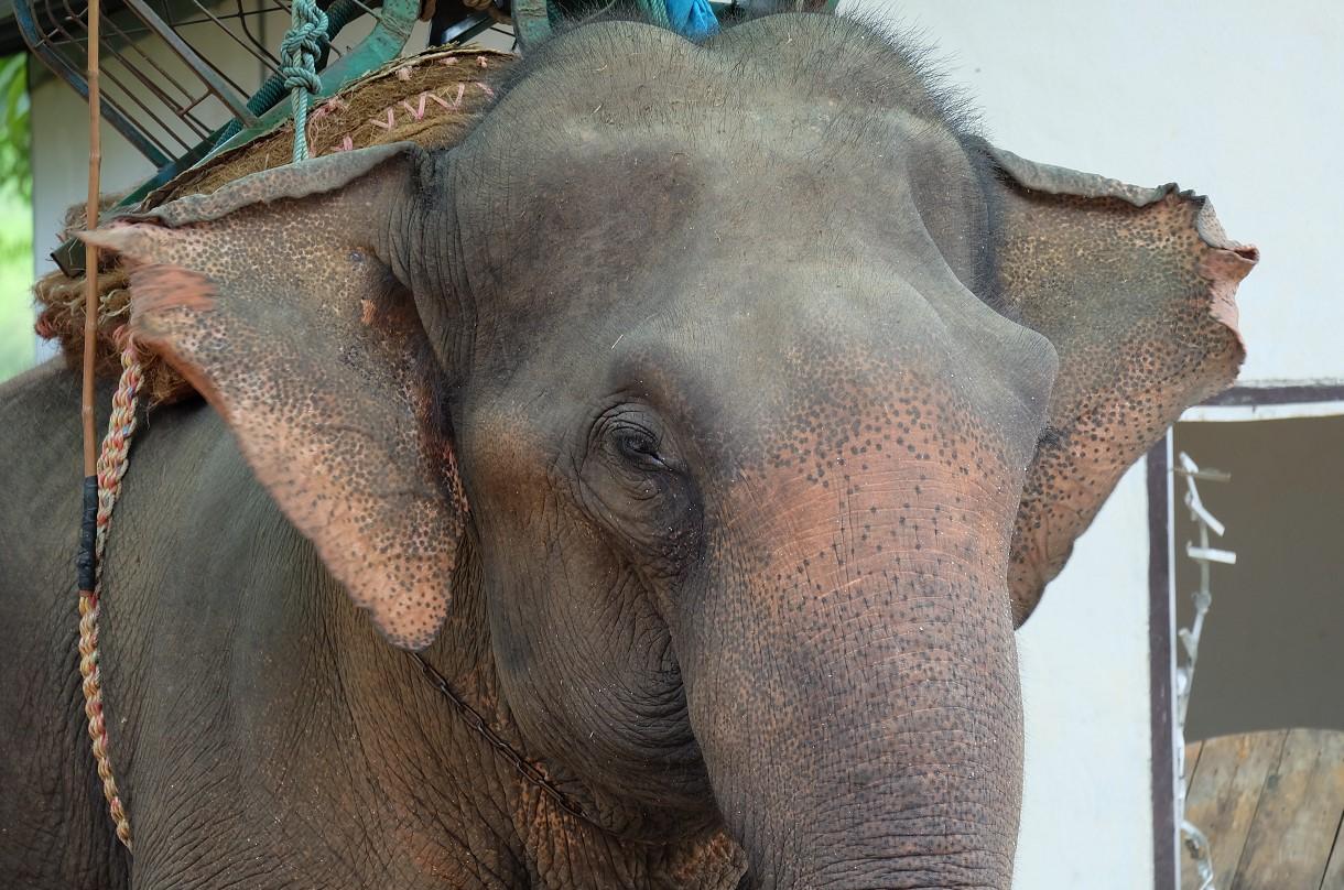 В Таиланде слониха убила хозяина и спрятала тело