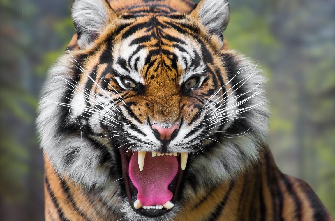 В Китае посетитель зоопарка перепутал хищников со стриптизершами