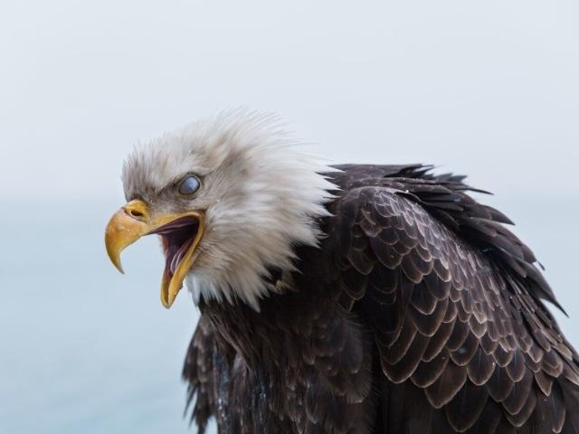 На Аляске орланы ведут себя как голуби