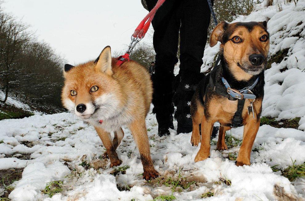 В Великобритании живет лисица, которая считает себя хозяйским псом
