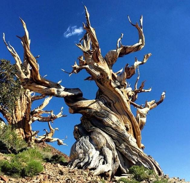 Старейшие деревья мира