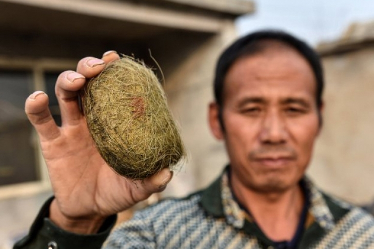Китайский фермер обнаружил в желудке свиньи лекарство за полмиллиона долларов