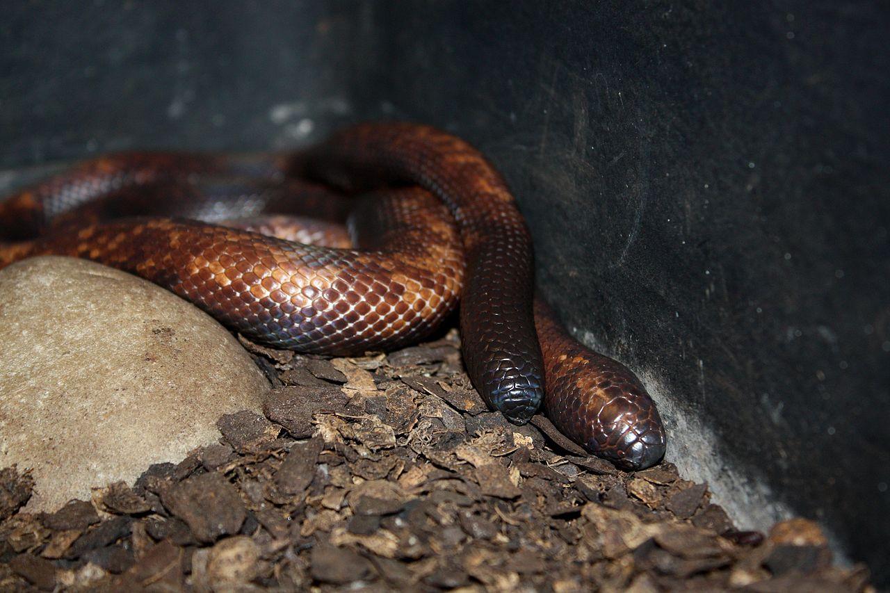 Найдена змея с кожей носорога