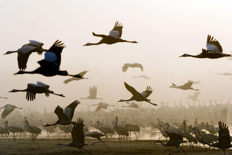 Привал на пути в Африку: фотограф снял миграцию журавлей