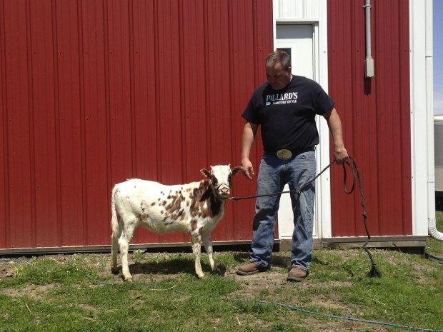Американский фермер предлагает заменить собак коровами
