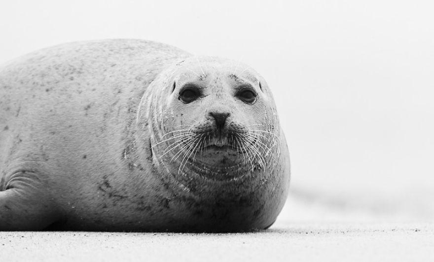 Соболиный остров: канадский фотограф побывал на лежбище серых тюленей