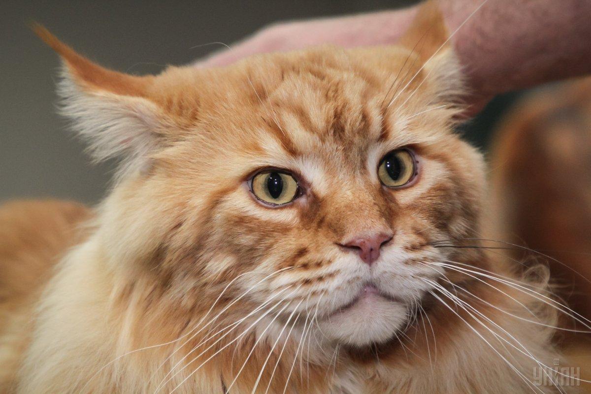 Самый большой кот Украины похудел от любви. Но только чуть-чуть
