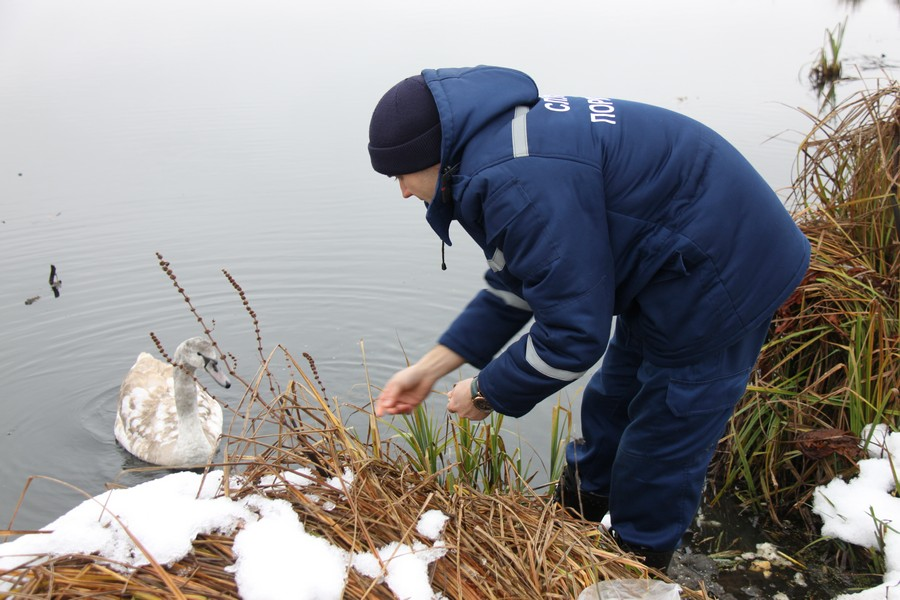 В Виннице спасатели вытащили лебедя из замерзающего озера