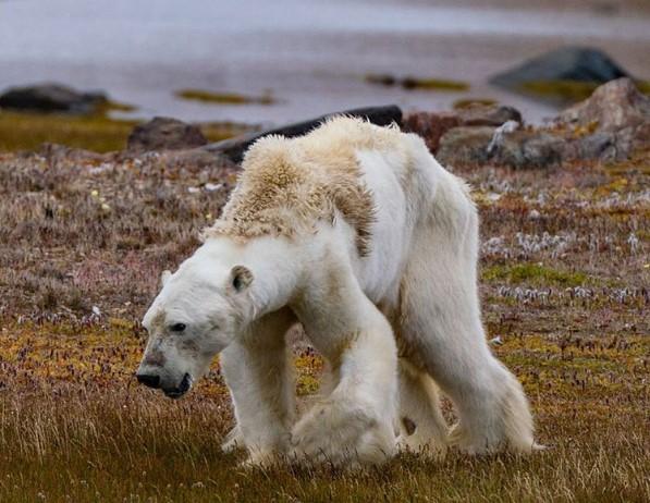 Белый медведь, который идет умирать
