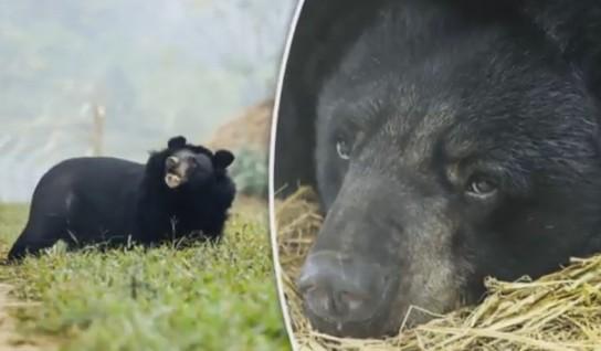 Во Вьетнаме спасли медведицу, которой браконьеры отрубили лапы