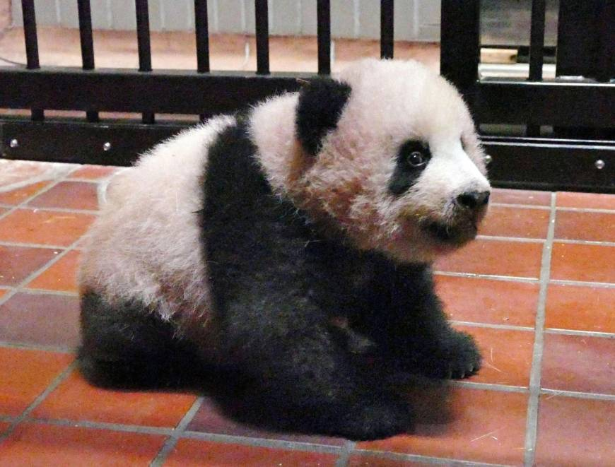 Победители лотереи в Японии впервые увидели малышку панду (видео)