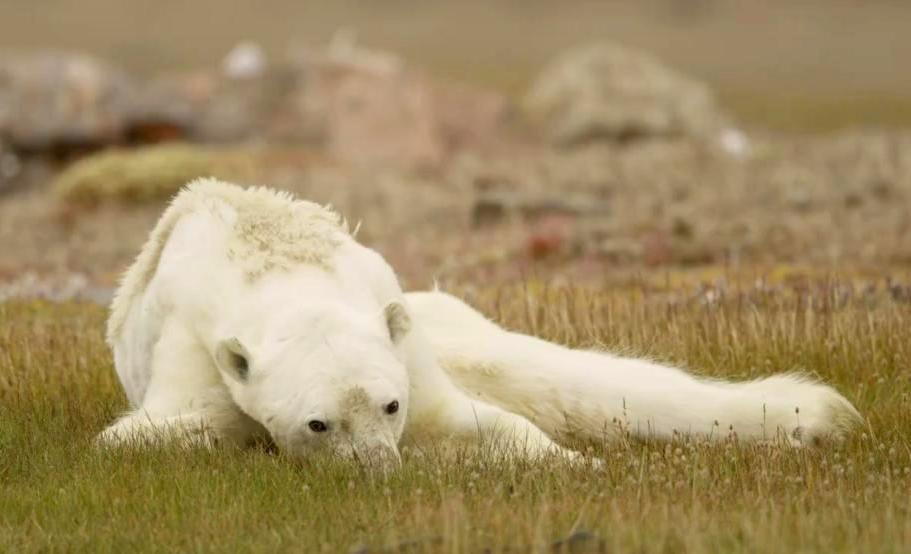 National Geographic сняли умирающего от голода медведя