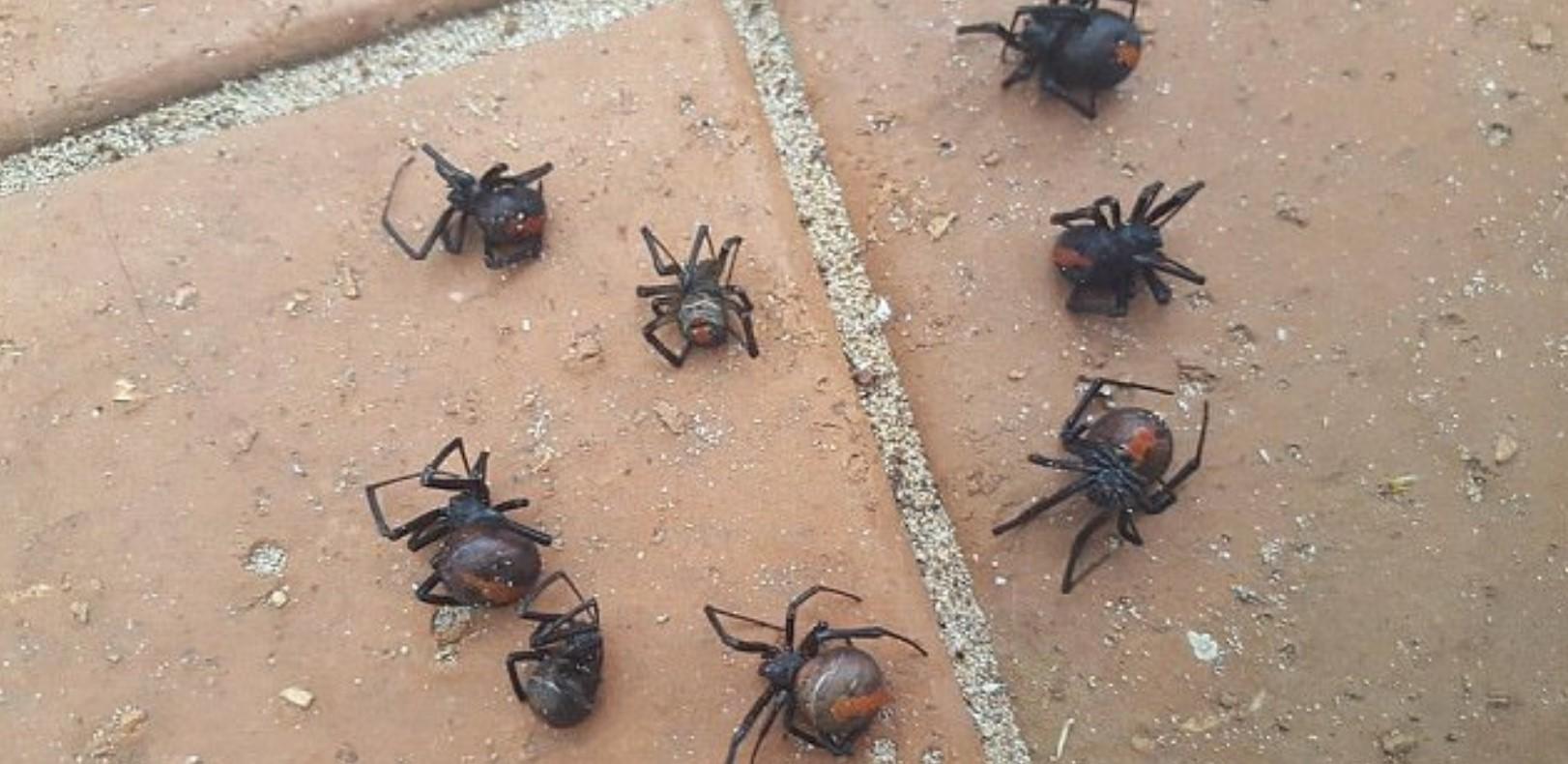 В Австралии дождь спровоцировал нашествие ядовитых пауков