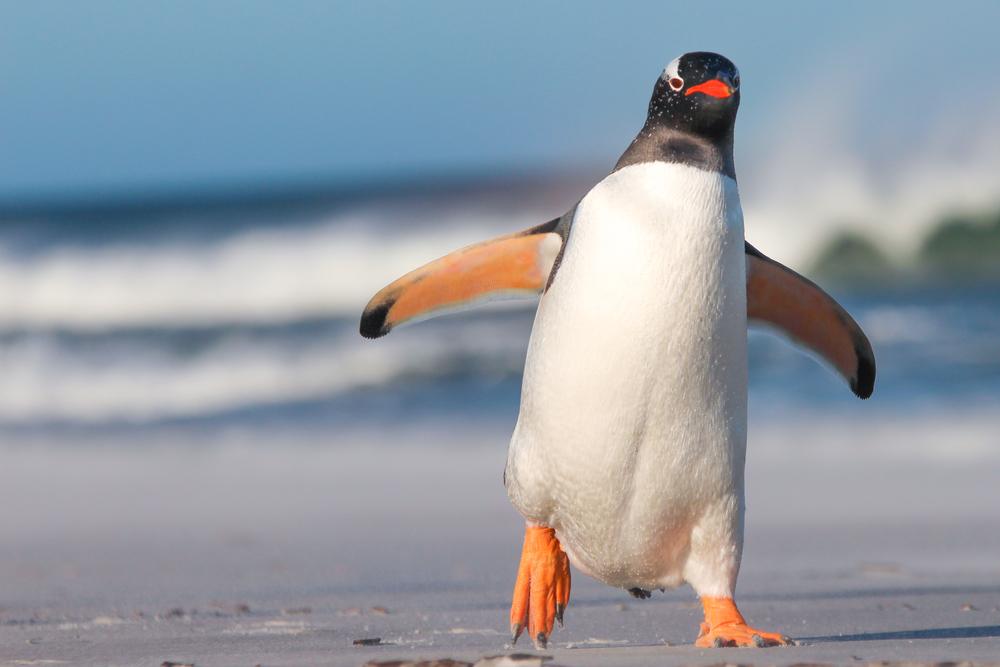 Археологи обнаружили кости пингвина размером с человека