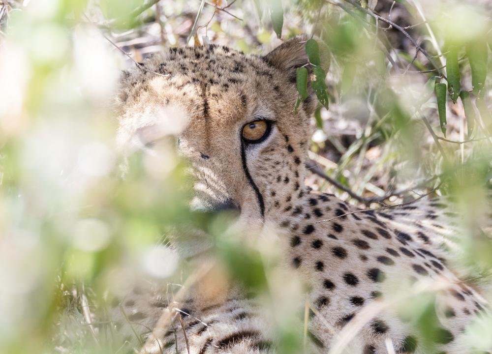 День гепарда: ТОП-12 фактов о самых быстрых кошках на Земле